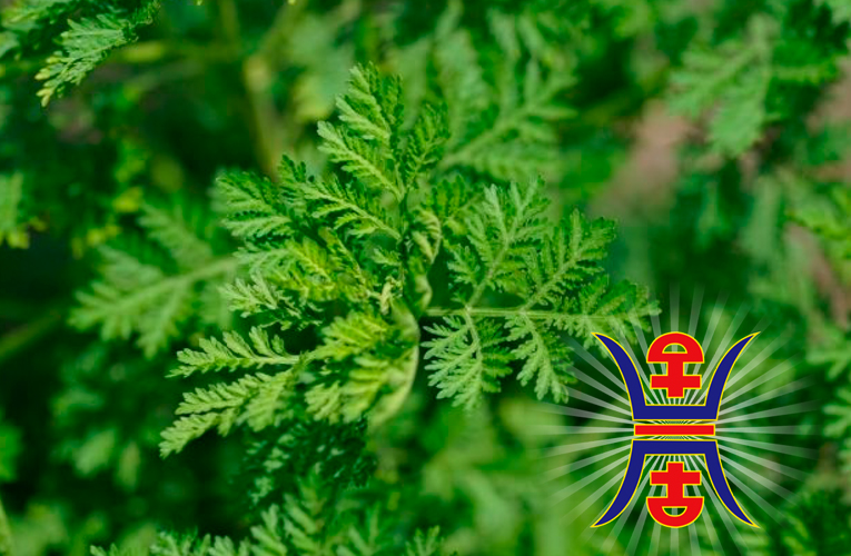 Herb artemisia annua can be considered as a COVID-19 treatment