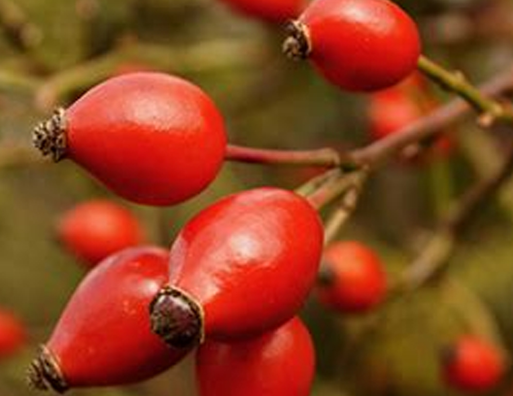 How to Make Your Own Rose Hips